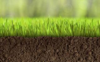 Трава для посадки газона: подборка лучших сортов для нашего климата
