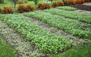 Когда сажать сидераты для огорода? Лучшие сидераты для огорода