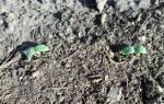 Сажаем огурцы семенами в открытый грунт: правила посева и выращивания