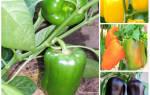 Лучшие сорта перцев для Подмосковья в открытом грунте: классификация, описание и характеристика, фото