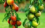 Основные виды и сорта датуры для выращивания в саду