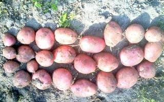 Среднеранний сорт картофеля Ильинский