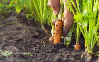 Как правильно сажать морковь весной и осенью