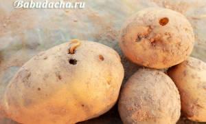 Особенности использования препарата «Табу» для обработки картофеля