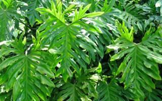 Особенности выращивания филодендрона в домашних условиях