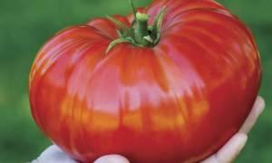 Характеристика и описание сорта томата Сибирский Гигант, его урожайность