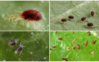 Описание и фото паутинного клеща