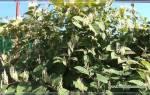 Растение горец: разновидности, посадка и уход