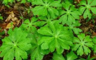 Декоративное растение подофилл