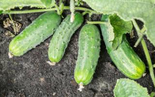 Характеристика гибридных огурцов Спино F1 и описание плодов