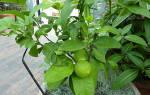 Это нам под силу — выращивание бергамота в домашних условиях