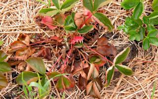 Вертициллез (вилт, увядание растений): признаки, борьба, профилактика
