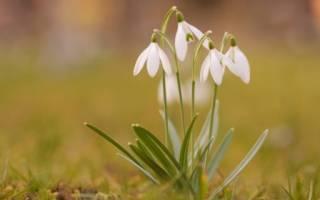 Подснежник — первое дыхание весны