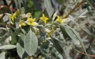 Лох, лоховина, лоховник, пшат, дикая маслина, серебряное дерево, армянский финик – десятки названий, одно растение