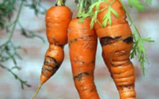Как бороться с вредителями моркови без химикатов