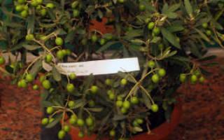 Размножение, выращивание и уход за оливой в домашних условиях