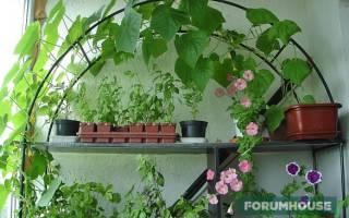 Выращиваем огурцы на подоконнике: практичные советы