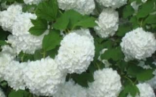 Выращивание декоративной калины: как размножить бульденеж