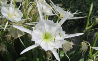 Гименокаллис: выращивание цветов исмены в саду
