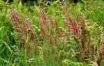 Овсяница луговая для газона: особенности посадки и ухода