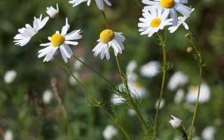 Ромашка аптечная и пахучая: свойства и лекарственное применение
