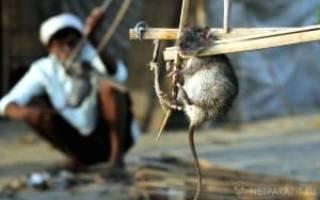 Ловушка для крыс своими руками – это легко и эффективно