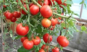 Выращивание томата Верлиока