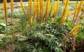 Выращиваем бузульник (лигулярия) Пржевальского на даче