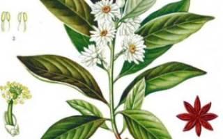 Все о выращивании аниса, посадка и уход за универсальной приправой