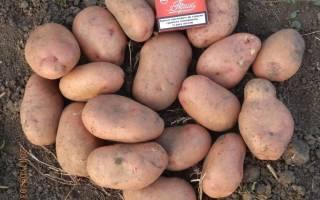 Картошка славянка описание сорта