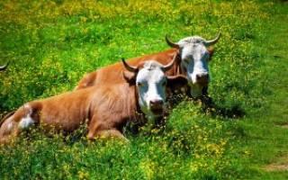 По каким принципам выбраковывать коров