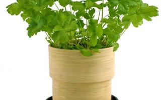 Как выращивать петрушку дома на подоконнике