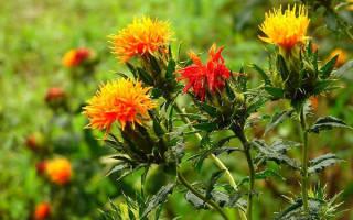 Технология выращивания сафлора в средней полосе