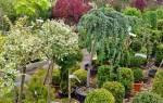 Список популярных декоративных деревьев для сада с описанием и фото
