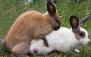 Когда можно подпускать крольчиху на случку