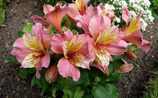 Альстромерия цветок