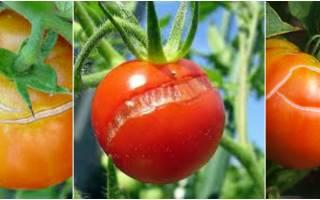 Почему трескаются помидоры, как этого избежать