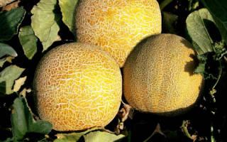 Урожайная дыня Колхозница: выращивание в открытом грунте или теплице