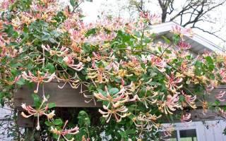 Жимолость декоративная вьющаяся – виды и сорта, приемы размножения, тонкости ухода