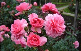 Как посадить и вырастить в саду нежную и изящную розу Боника