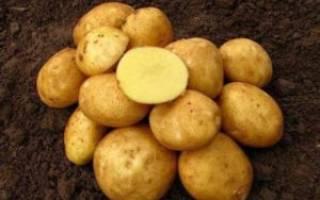 Ранний картофель Венета – сорт немецкой селекции