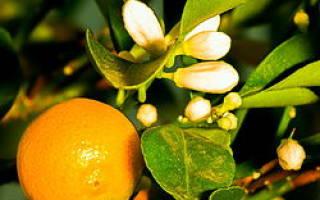 Как правильно ухаживать за цитрусовыми комнатными растениями
