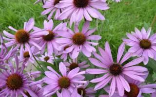 Эхинацея — лечебные свойства травы