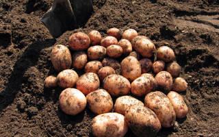 Хранение картофеля: как хранить картошку зимой правильно разными способами