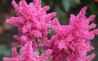 Лучшие красивые сорта цветов астильба
