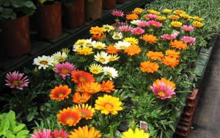 Как выбрать газанию для сада, распространенные сорта и виды растения