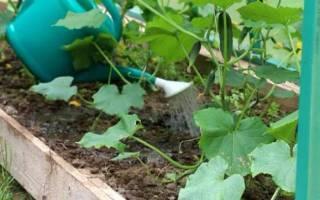 Правильный полив огурцов в открытом грунте