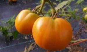 Крупноплодный сорт томата «Оранжевый Гигант» с необычными апельсиновыми плодами: описание, характеристика, посев на рассаду, подкормка, урожайность, фото, видео и самые распространенные болезни томатов