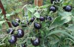 Грозди ярких красных плодов, как с картинки: томат — Верлиока — украшение грядки