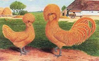 Голландские белохохлые куры